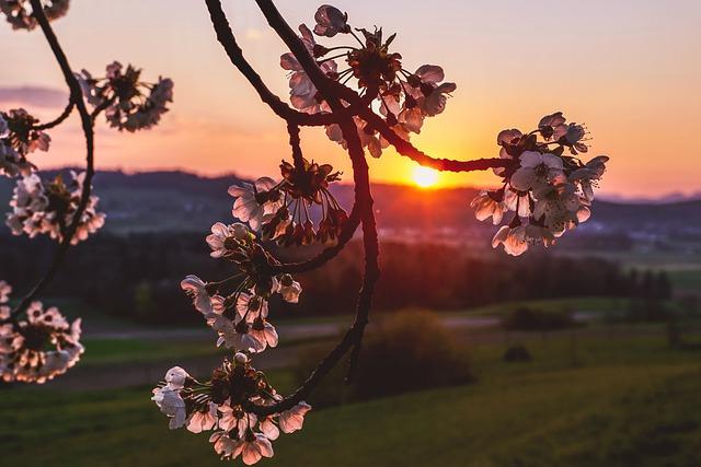 cherry-blossoms-5018756_640 Home